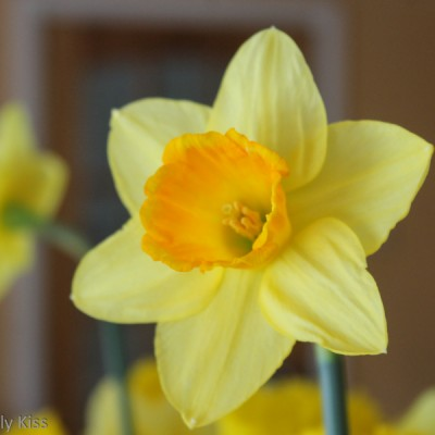 Daffodil reflected in mirror