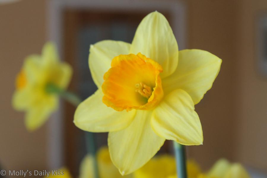 Daffodil reflected in mirror